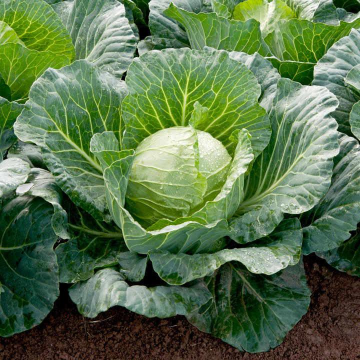 Cabbage Sunta Dobies