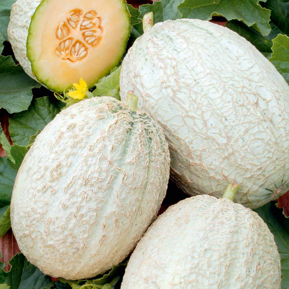 Melon Seeds Emir F1 Dobies The fruit (also known as muskmelon) is part of the gourd family and is known for being. melon seeds emir f1